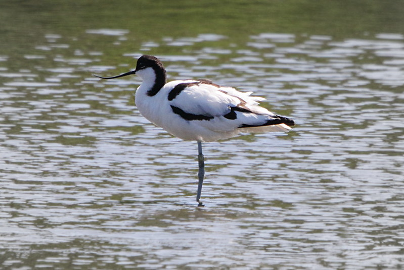 Avocet, ringed