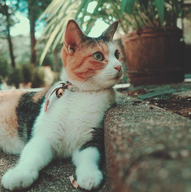 Calico cat wearing a collar