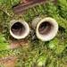 Bird's Nest Fungi by Mr_Tambourine_Man