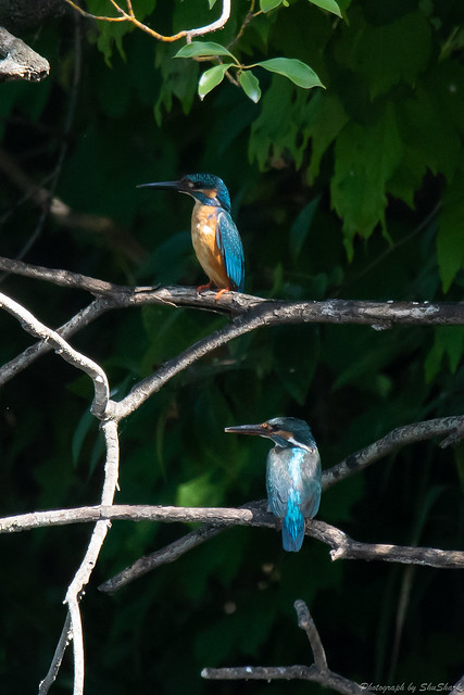 20180630-kingfisher-DSC_5555