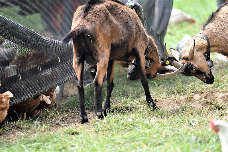 Goat 10.07 (9)
