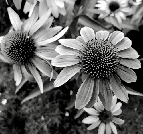 Coneflowers using the Darkr app.