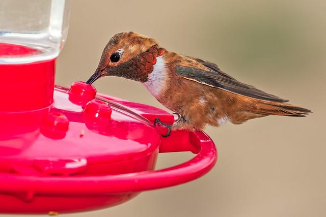 Rufous-Humming-Bird-8-7D2-062918