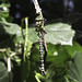 Southern Hawker-2