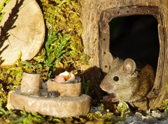 George the mouse in a log pile house (8)