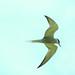 Tern wings
