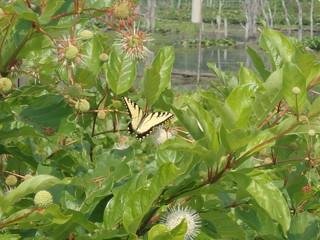 Swallowtail Butterfly by Kaoru Tsubone