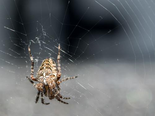 Weber spider