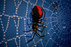 LEGO redback spider