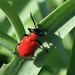 Lily beetle 19.04.2018 by Margaret the Novice