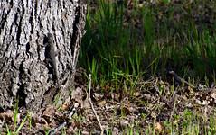 Hiding Lizard