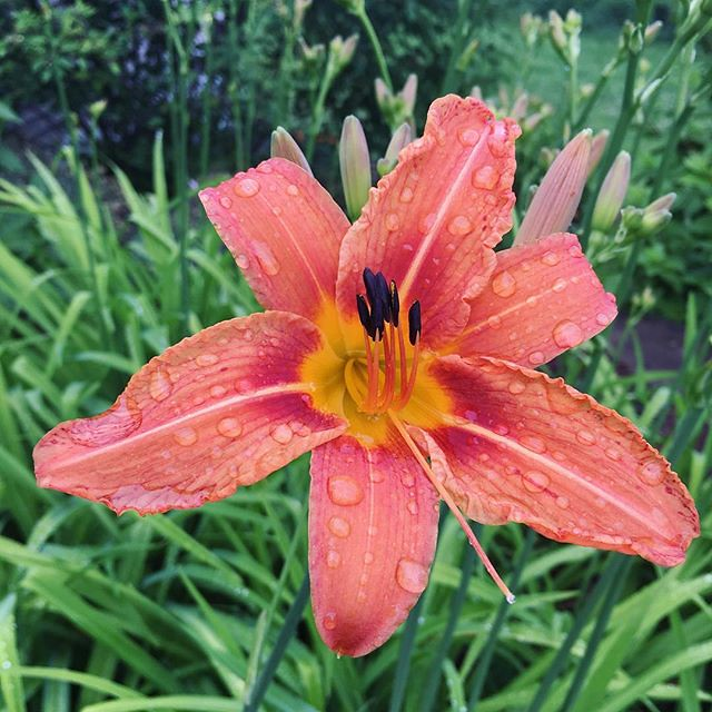 Orange daylilies started blooming today.