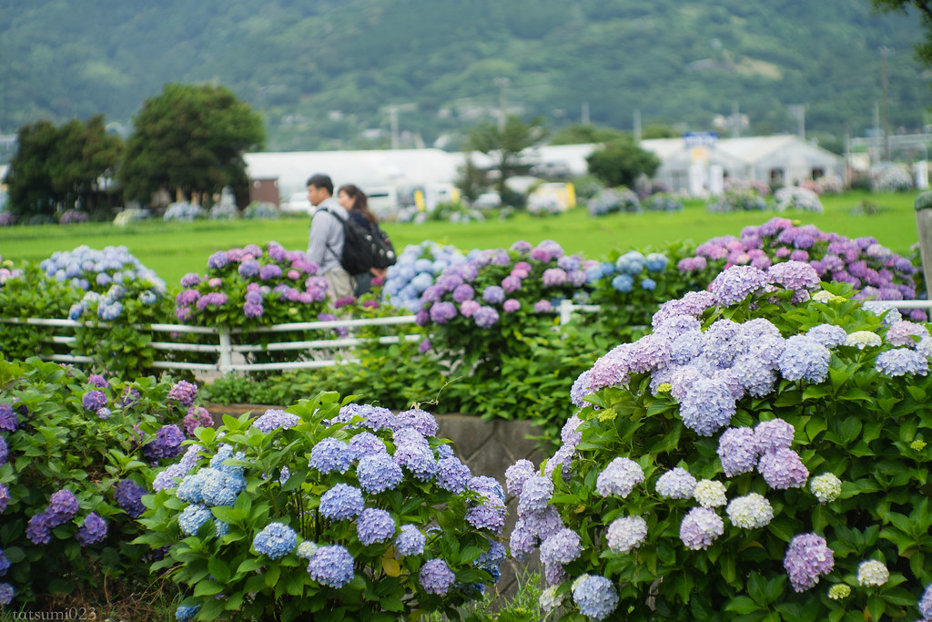 2018-06-16 開成町の紫陽花 007-3