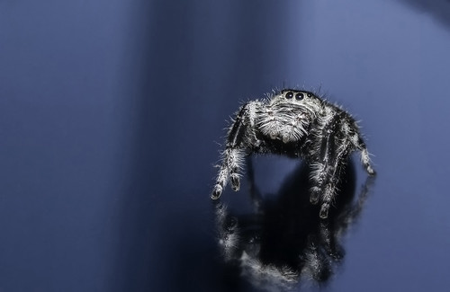 Female regal jumping spider (Captive raised)