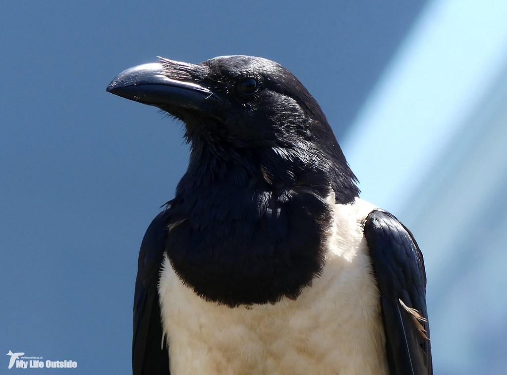 P1160046 - Pied Crow, Pembrokeshire