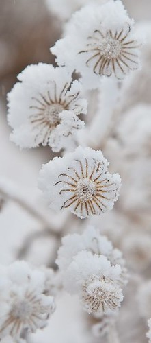 Flowers And Garden Ideas : Snow flowers