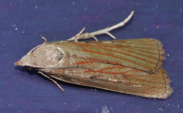 Wedge shape vein line moth Tirathaba sp aff rufivena Tirathabini Galleriinae Pyralidae Airlie Beach rainforest P1020465