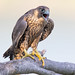 Peregrine Falcon by Photosequence
