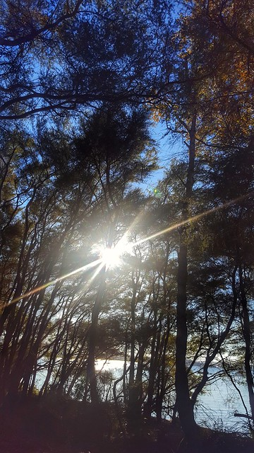 Sunburst through Manuka Trees on a winter afternoon