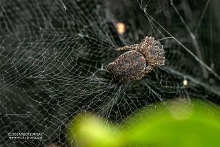 Tent web spider (Cyrtophora citricola) - DSC_6281