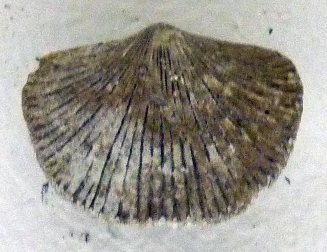 Hebertella occidentalis 39834678640_07553ae530_o