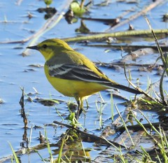 Yellow Wagtail - Druridge Ponds