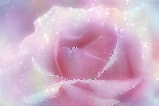 DAY 107. Pink Rose