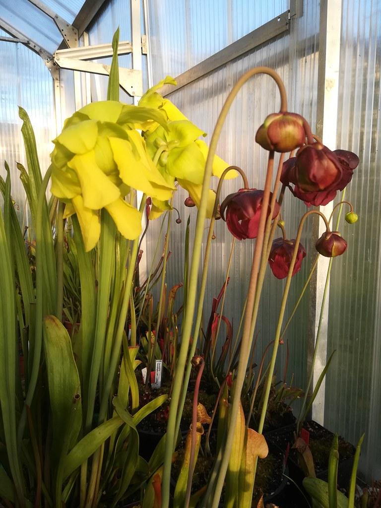 Sarracenias blooming