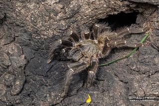 Tarantula (Theraphosidae) - DSC_6084