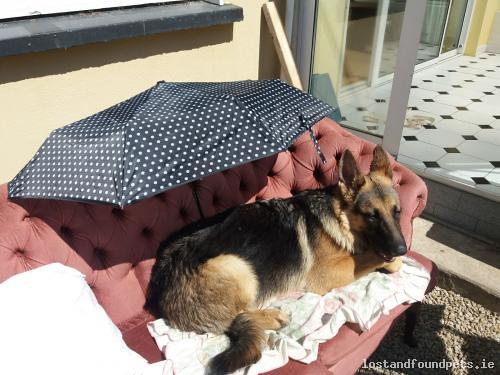 Fri, Jul 6th, 2018 Lost Male Dog - Bellewstown, Meath