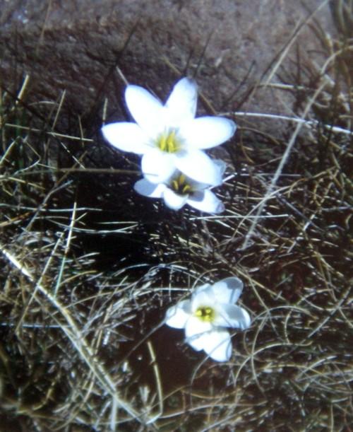 Hesperantha schelpeana 42411230125_2798f6b91c_o