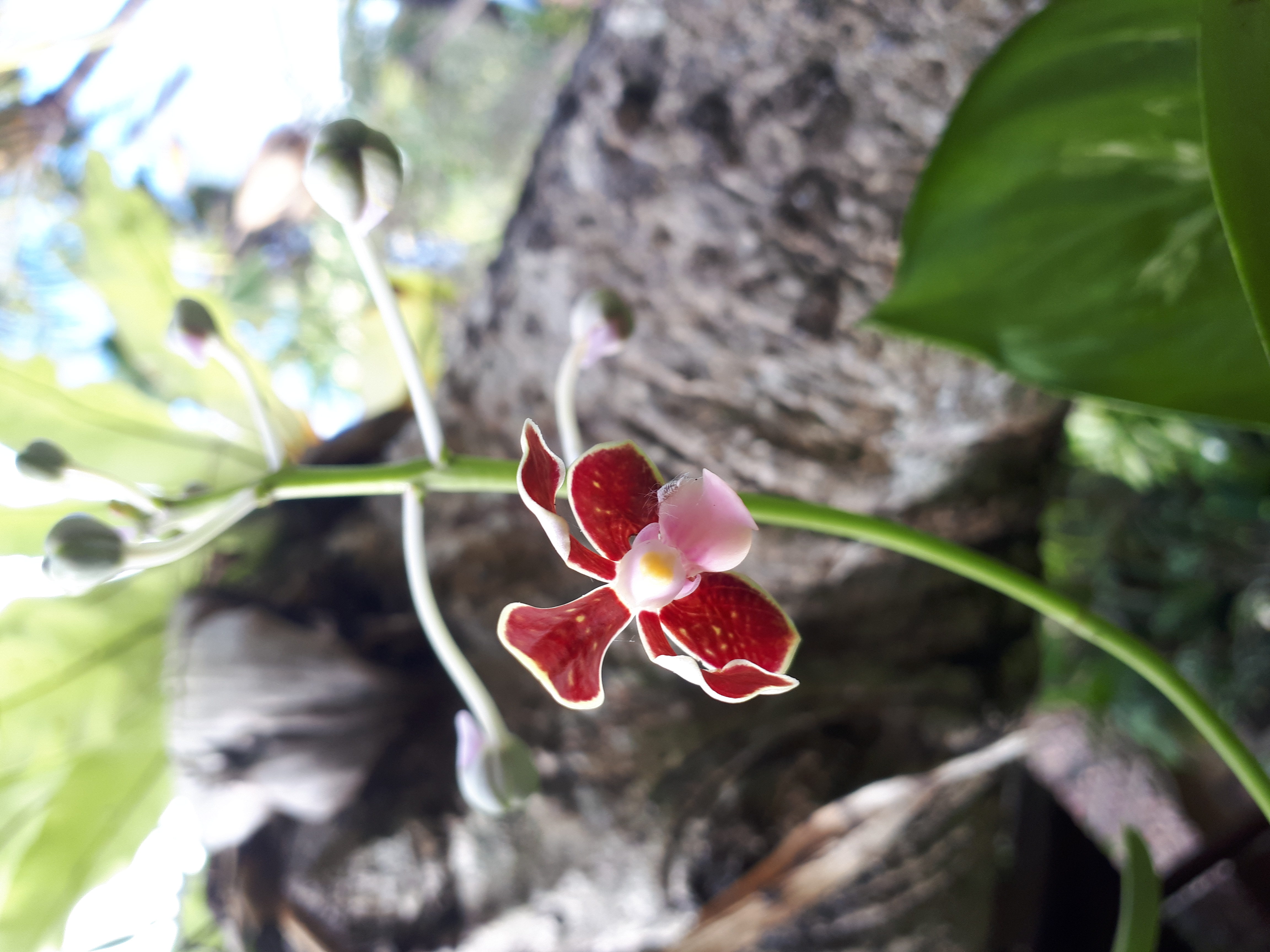 Orchidée 42596402734_16376dd7ac_o