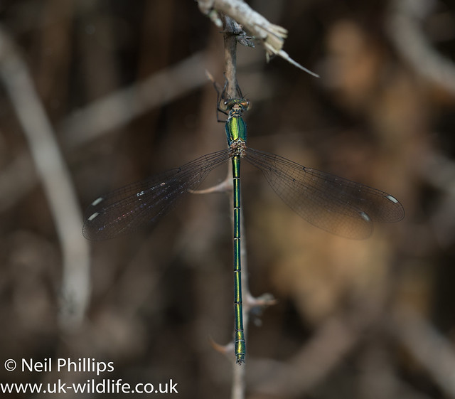 willow emerald