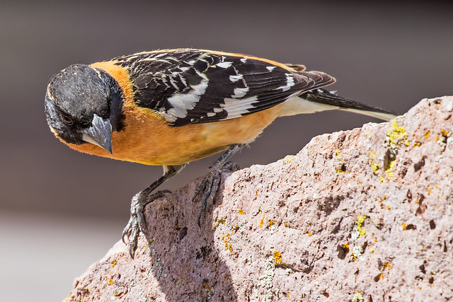 Black-headed-Grosbeak-17-7D2-050918