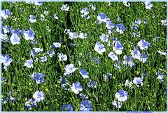 La petite fleur bleue ¹ ©  interlude