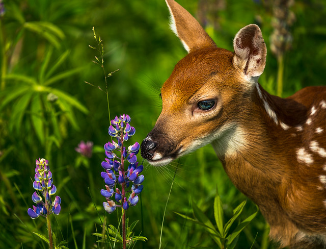 Lupine Fawn by Bruce Straits