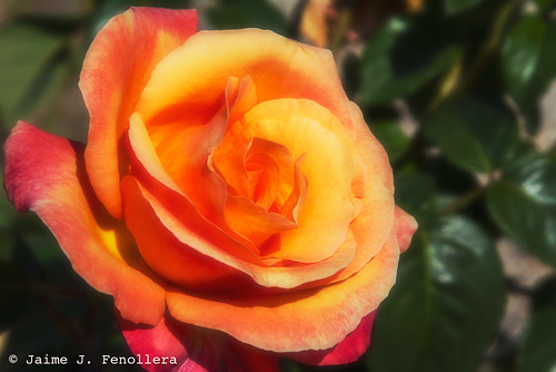 Tonalidades cálidas de una rosa