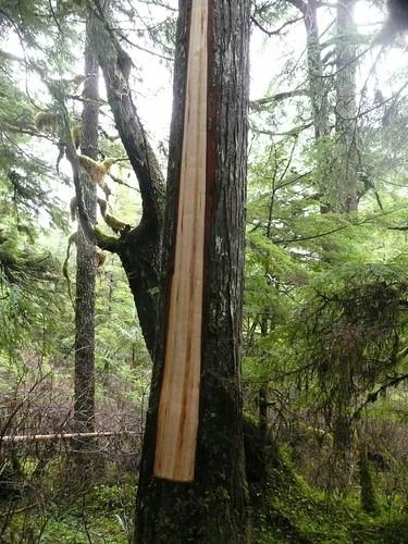 yellow cedar bark strppingl