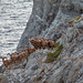 Mouflon ram convention