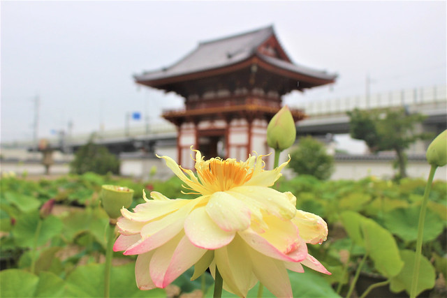 kikouji-hasu014