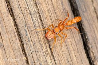 Ant-mimic jumping spider (Myrmarachne sp.) - DSC_5755
