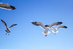 Lovers' Gulls