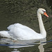 Swan near Beeleigh Lock, River Chelmer Navigation
