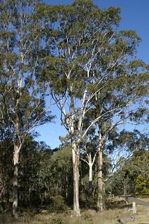 Eucalyptus moluccana plant CC1