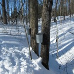 Fri, 07/27/2018 - 9:30am - Maple Syrup Tapping