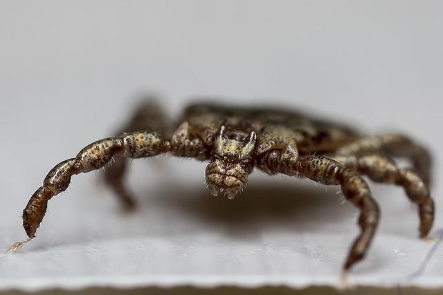 Dermacentor occidentalis - Pacific Coast Tick