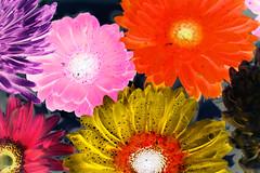 Closeup of colorful gerbera background in negative effect