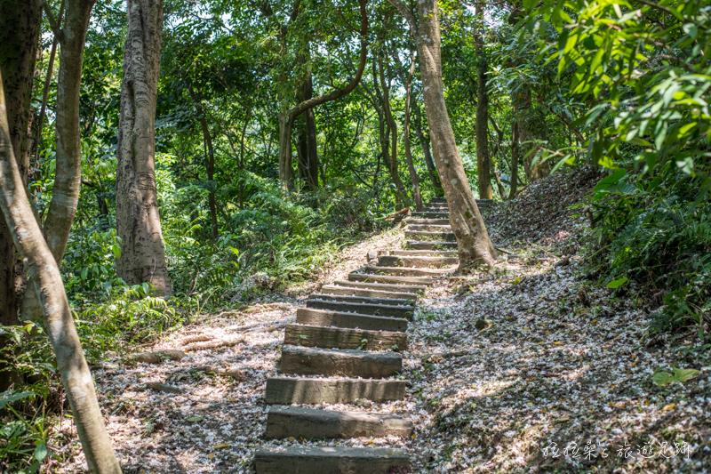 新北土城承天禪寺,朵朵潔白桐花開滿健行步道,漫步於綠意滿滿的登山小徑,感受微風吹落的迷人桐花雨