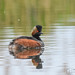 Male Black Necked Grebe