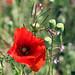 The Poppy (explored)